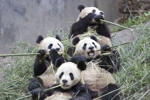 Pandas eating bamboo.