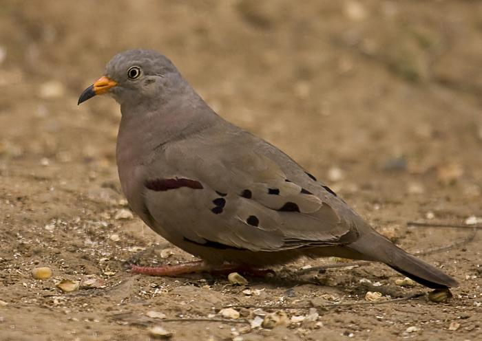 Croaking_Ground-dove_DMB